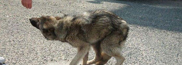 The fearful husky