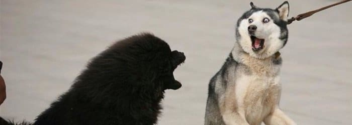 Scared or timid husky