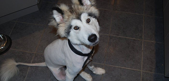 Husky with its fur shaved