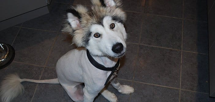 Never Shave A Husky - Snowdog Guru