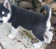 Husky Housebreaking - How to housebreak a husky