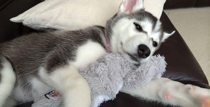 Sick Husky
