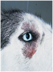 Dermatitis in huskies eye