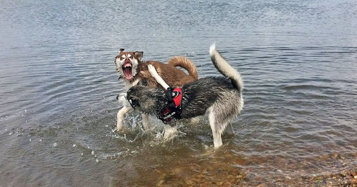 Huskies Fighting