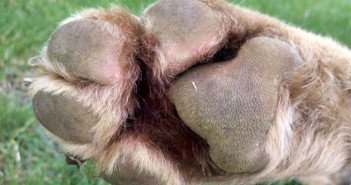 Huskies Paw with a grass seed