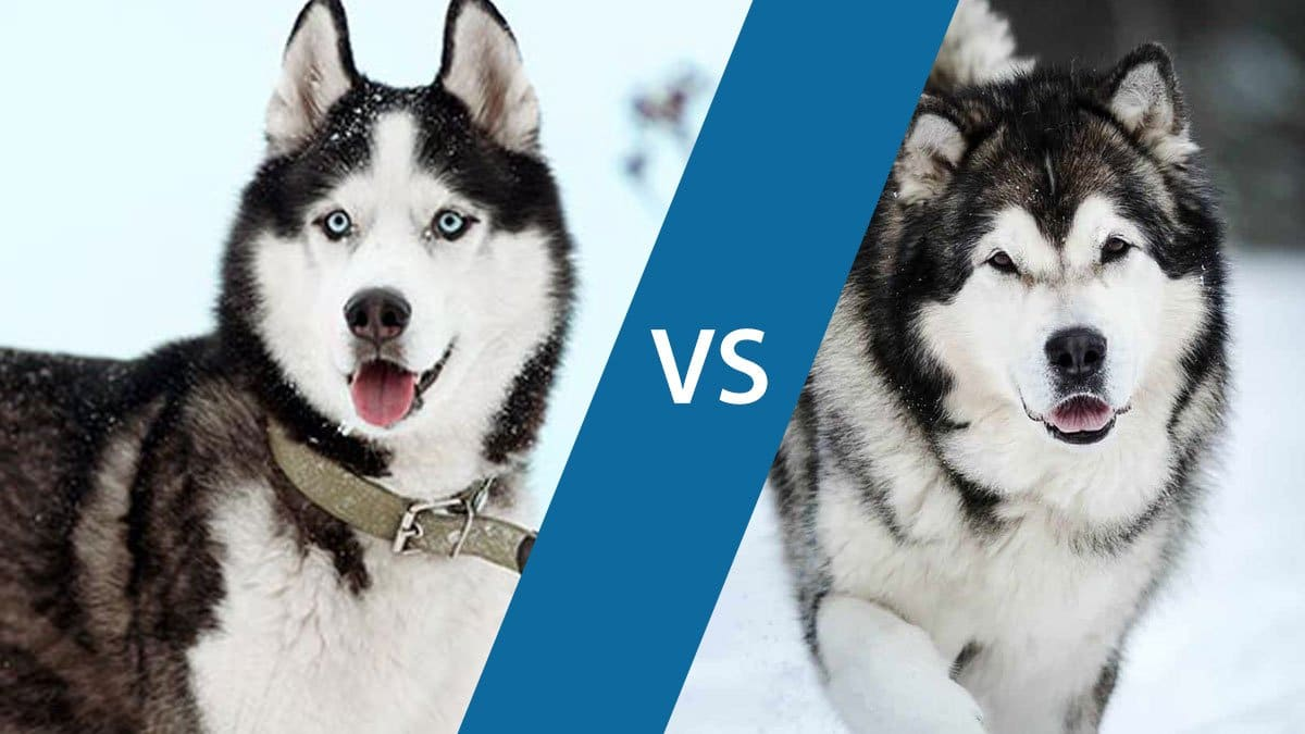 Difference Between Huskies and Malamutes